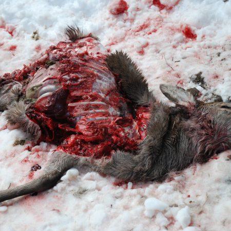 Carcasse de chevreuil prédaté © C Kourguy / OFB