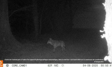Un loup identifié en Seine-Maritime