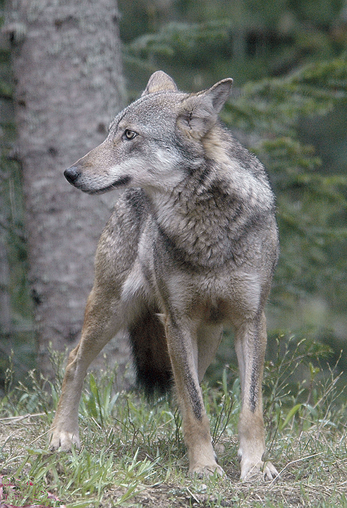 Photo du loup gris, présent en France.