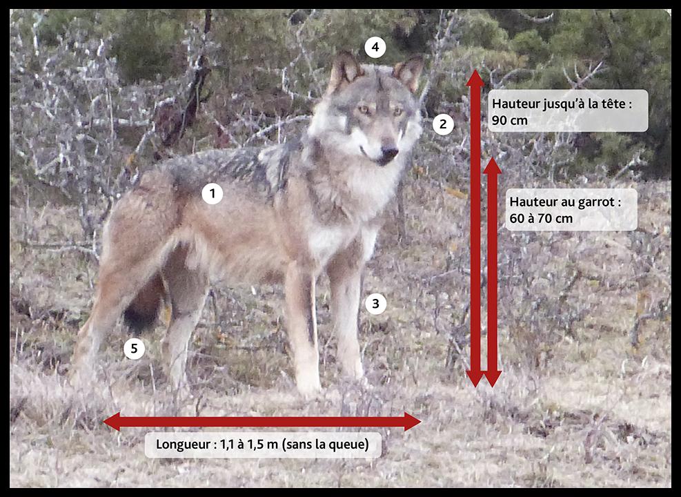 Caractéristiques du loup gris en France.