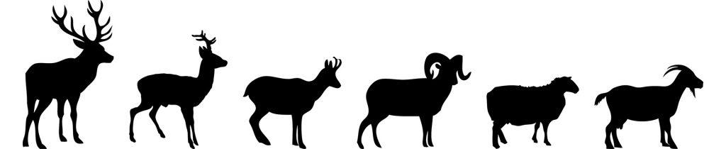 Les proies du loup, régime alimentaire : carnivore.