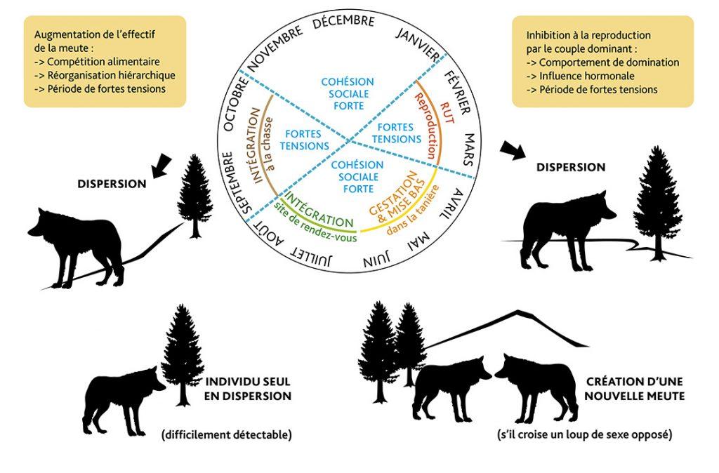 Schéma des comportements, mode de vie du loup.