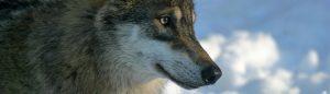 Loup en captivité, France.