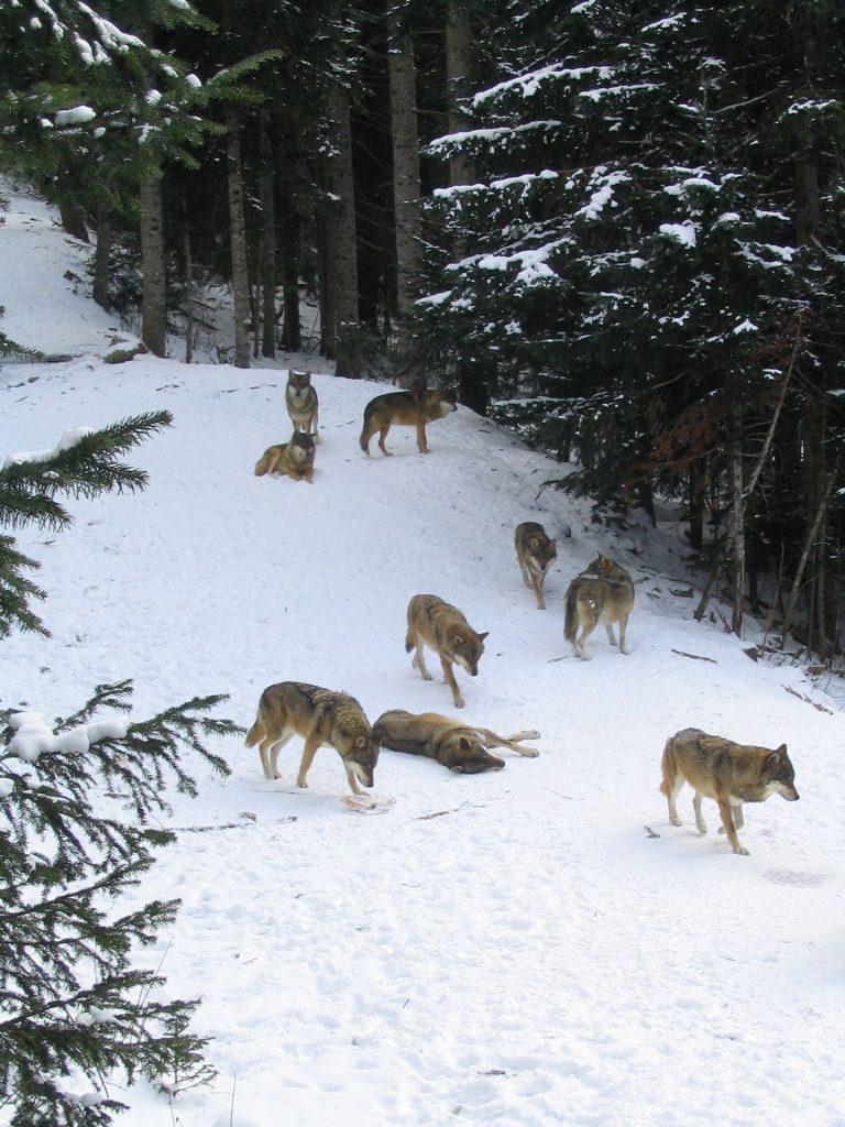 Les loups sauvages, meute de loups.