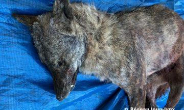 Le canidé au pelage sombre bringé détecté dans les Alpes Maritimes est un loup de lignée italo-alpine