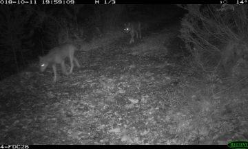 Une meute de 13 loups, est-ce si étonnant ?