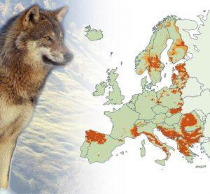 Carte de détection du loup, échelle européenne, 2012.