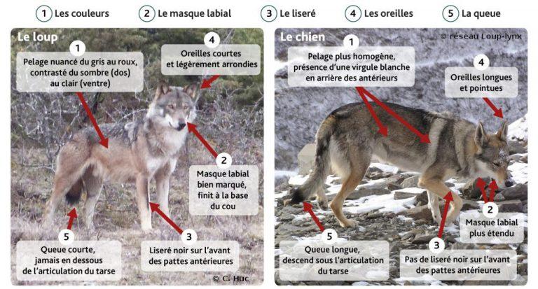 Schéma de différenciation entre le loup et le chien.