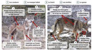 Shéma de différenciation entre le loup et le chien.