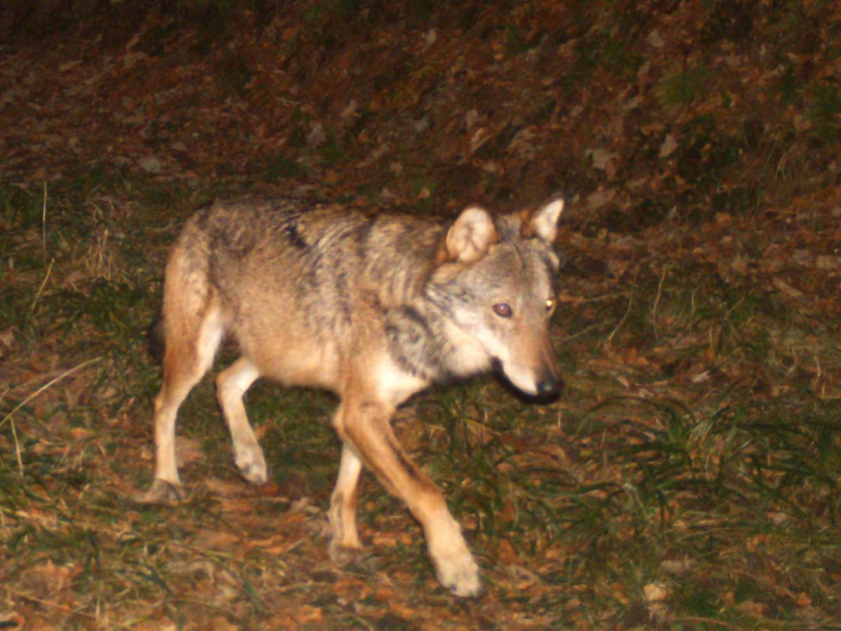 Quelle est la conduite à tenir en cas de rencontre fortuite d'un loup ?