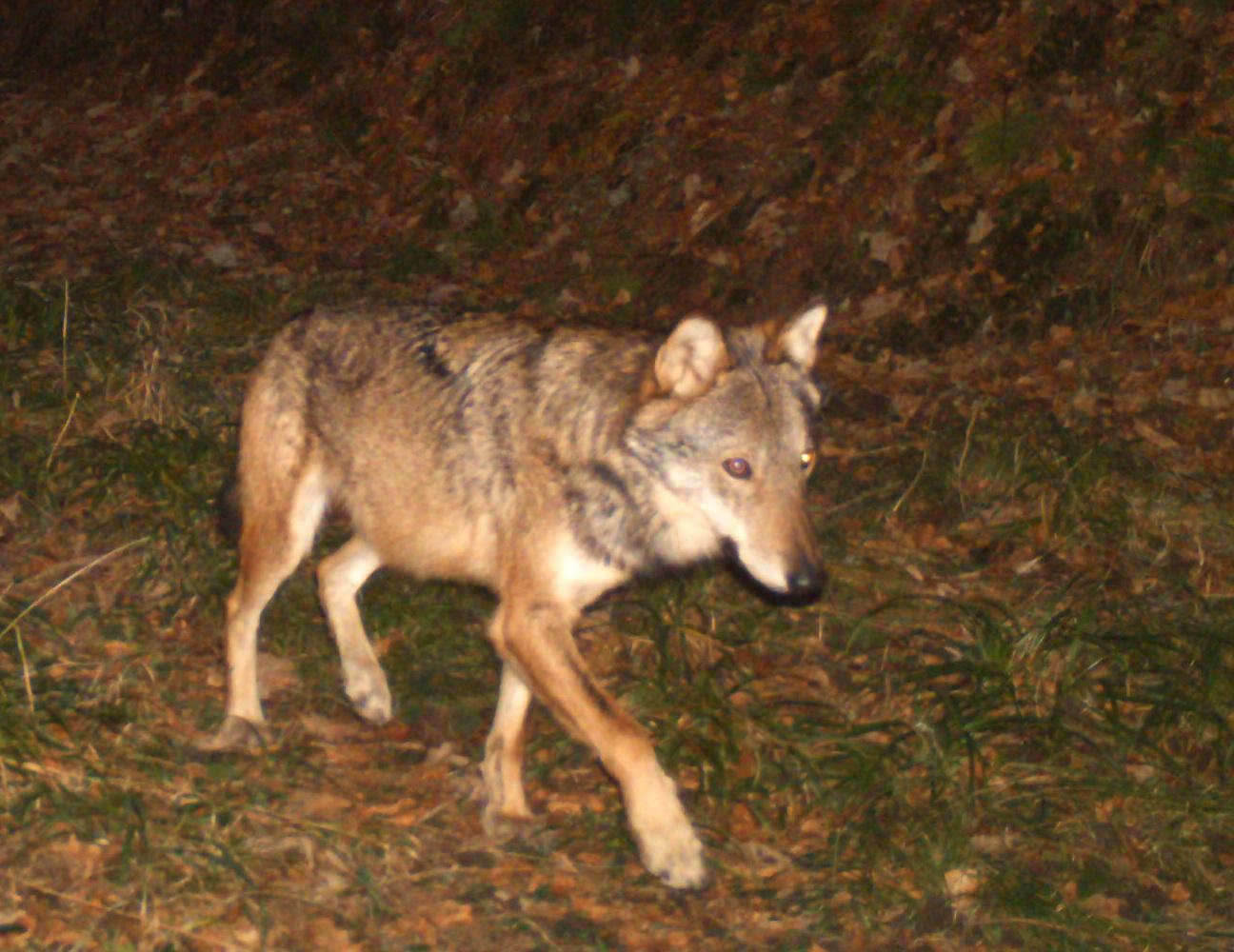 Quelle Est La Conduite A Tenir En Cas De Rencontre Fortuite D Un Loup Le Loup En France