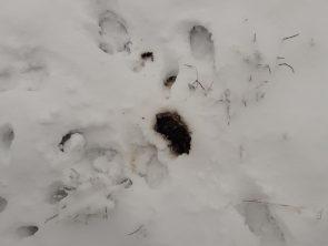 Excrément dans la neige © F Preisemann