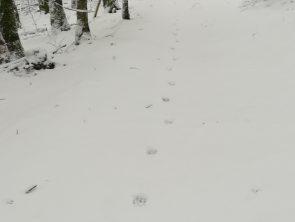 Piste de loup © F Preisemann