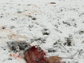 Carcasse de chevreuil prédaté © F Preisemann