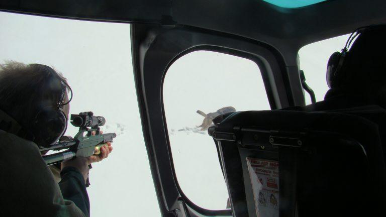 Capture de la louve Hylva  par télé-anesthésie à l'aide d'un hélicoptère © J-P Bergeon / ONCFS