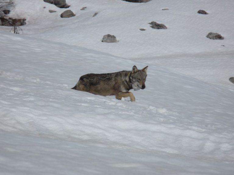 La louve Tinée au réveil, équipée d'un collier GPS/GSM © S Rossi / ONCFS