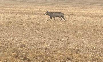 La présence du loup en région Centre-Val de Loire