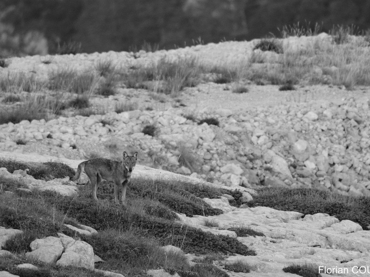 Mise à jour des effectifs et paramètres démographiques de la population de loups en France : conséquences sur la viabilité de la population à long terme