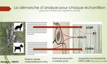 Le faible taux d'hybridation de la population de loups en France confirmé par une étude rétrospective sur 10 ans