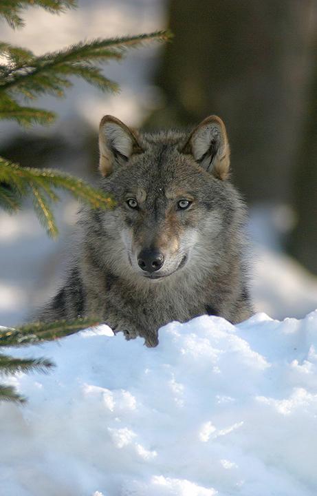 Loup en captivité. © P.Massit / ONCFS.