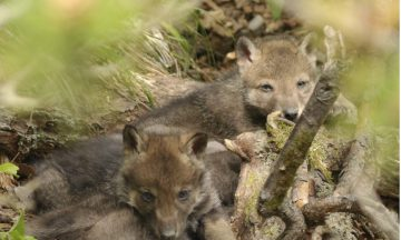 La détection de la reproduction des loups : une affaire de chance ou de patience ?