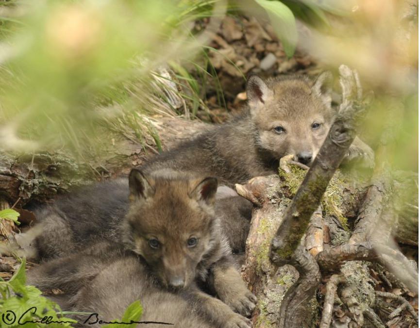 La détection de la reproduction des loups : une affaire de chance ou de patience ?