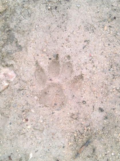 Empreinte de canidé indéterminé (sans repère de taille) © Réseau Loup-lynx