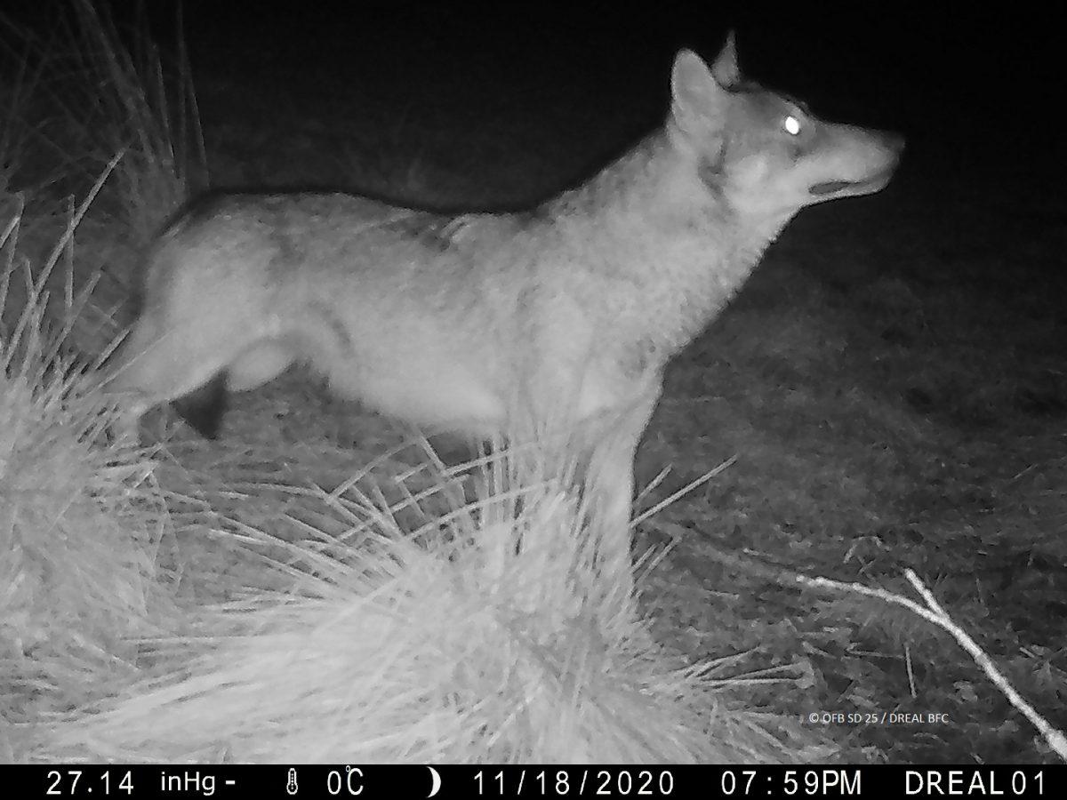 Point de situation sur le front de colonisation du loup en France