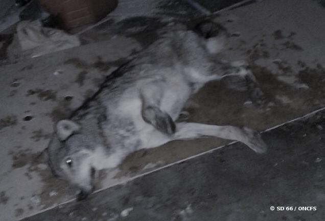 Le Loup euthanasié sur Angoustrine (66) était originaire du massif du Mercantour (06) et détient le record de longévité observé pour les loups sauvages en France