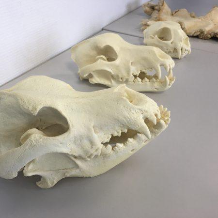 Crânes comme support pédagogique de formation