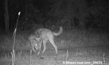 Loup, de nouveaux indices de présence à la frontière Suisse