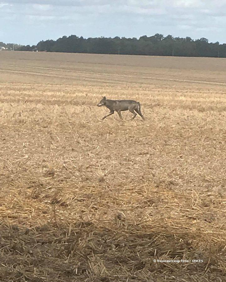 Un loup identifié en Eure-et-Loir