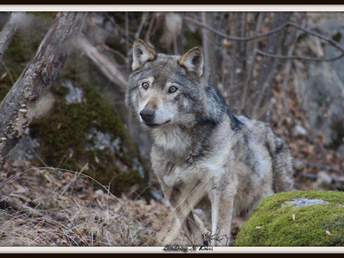 Résultats de l'autopsie du loup d'Angoustrine
