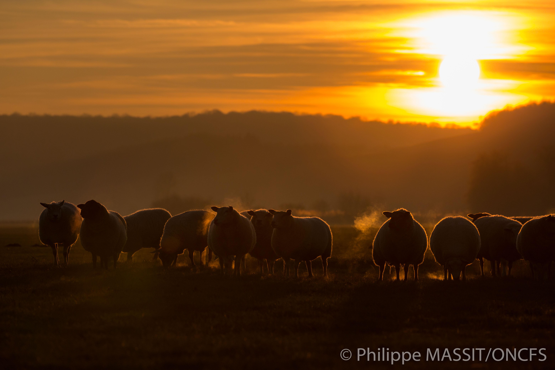 Troupeau de moutons lors du paturage hivernal en plaine vosgienne