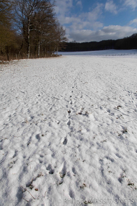 Une piste de loup suivie dans la neige sur la ZPP