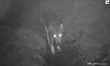 Le Loup en Région Nouvelle-Aquitaine: Bilan de l'activité du réseau - Avril 2021
