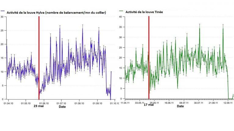 Activités des deux louves et détermination des dates de mise-bas, grâce au suivi des mouvements du collier