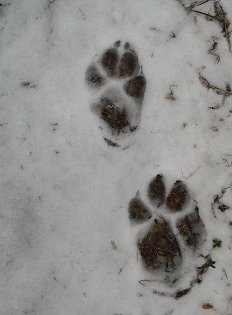 Différence de taille entre la patte antérieure  (en bas) et postérieure (en haut) chez le loup  © Liabeuf