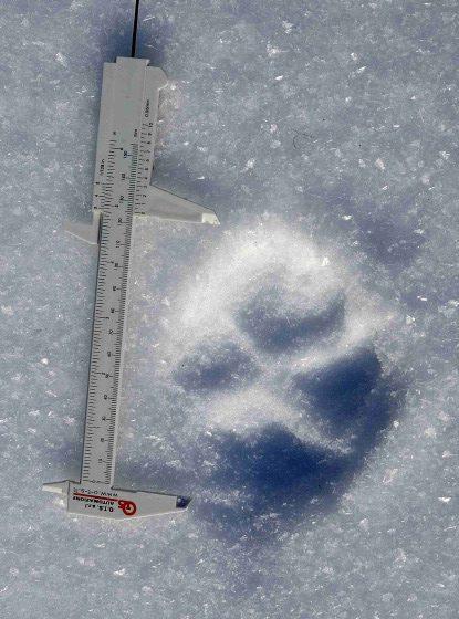 Empreinte de grand canidé de 12 cm de long © A Rezer