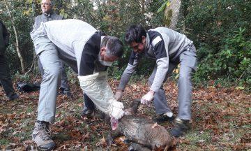 La situation du loup en régions Bretagne et Pays de la Loire : pas de présence détectée de l'espèce et un réseau de correspondants sentinelles en place