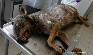 Le loup victime d'une collision routière en Lozère était de lignée italo-alpine