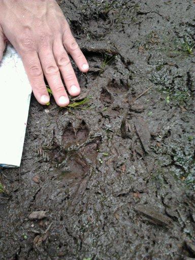 Empreinte de chien (environ 7cm de long) © OFB