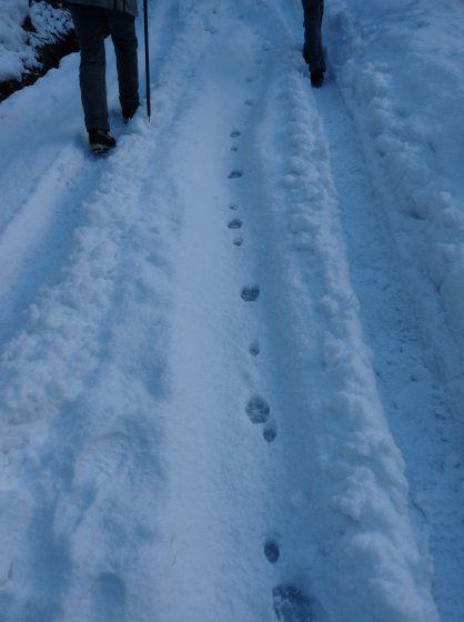 Un grand canidé (ici un loup) et un renard qui empruntent  le même passage © T Chevrier / ONCFS