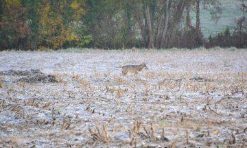 Les loups en cette saison : croissance des jeunes et dispersion des subadultes en automne / début d'hiver