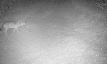 Un loup identifié en Ariège