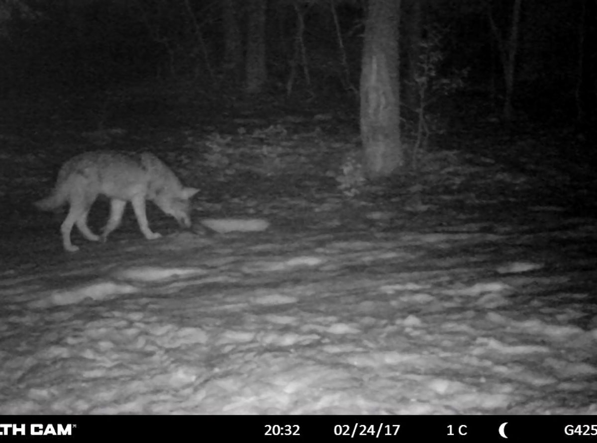 Le loup, ce canidé qui fascine… tourné en ridicule !