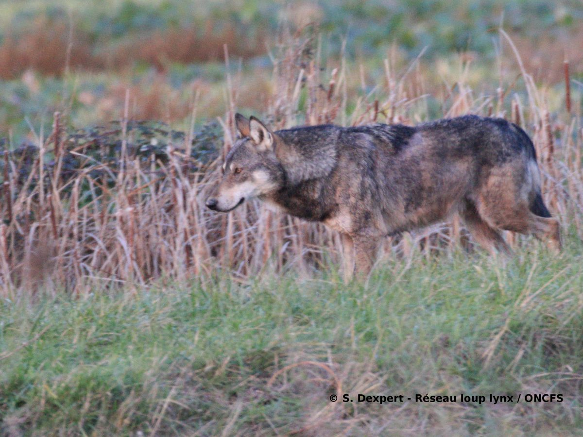 La situation du loup en Région Nouvelle-Aquitaine: une présence occasionnelle de l'espèce et un réseau de correspondants bien en place