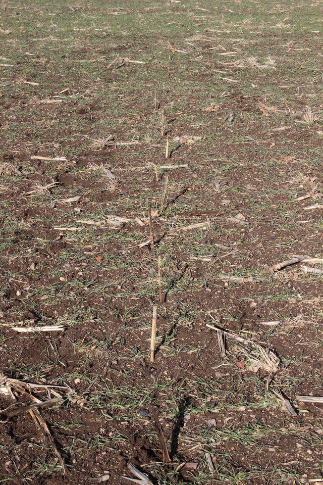 Alignement d'une piste relevée dans dans une parcelle de terre, matérialisé par les piquets plantés au sol  sur chaque empreinte  © Réseau Loup-lynx